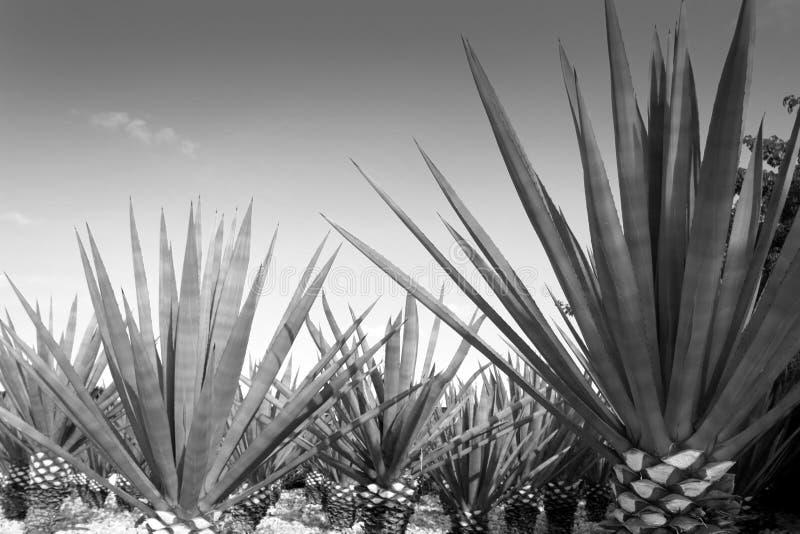 Planta del tequilana del agavo para el licor mexicano del tequila imagen de archivo libre de regalías