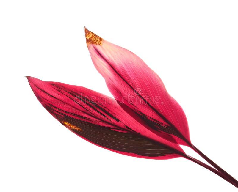 Planta del Ti u hojas del fruticosa del Cordyline, follaje colorido, hoja tropical ex?tica, aislada en el fondo blanco con la tra fotos de archivo libres de regalías