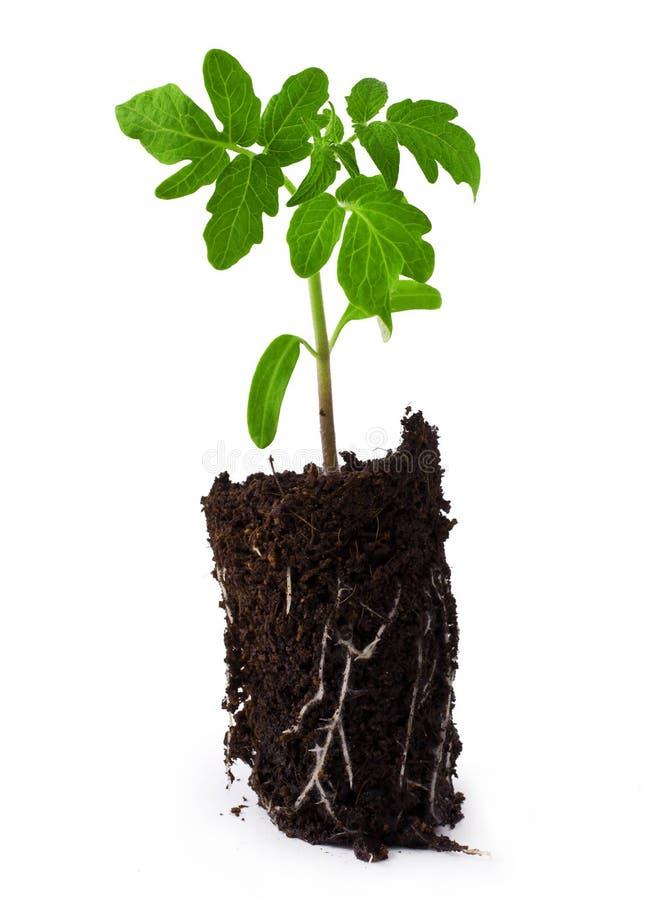 Planta del tomate foto de archivo