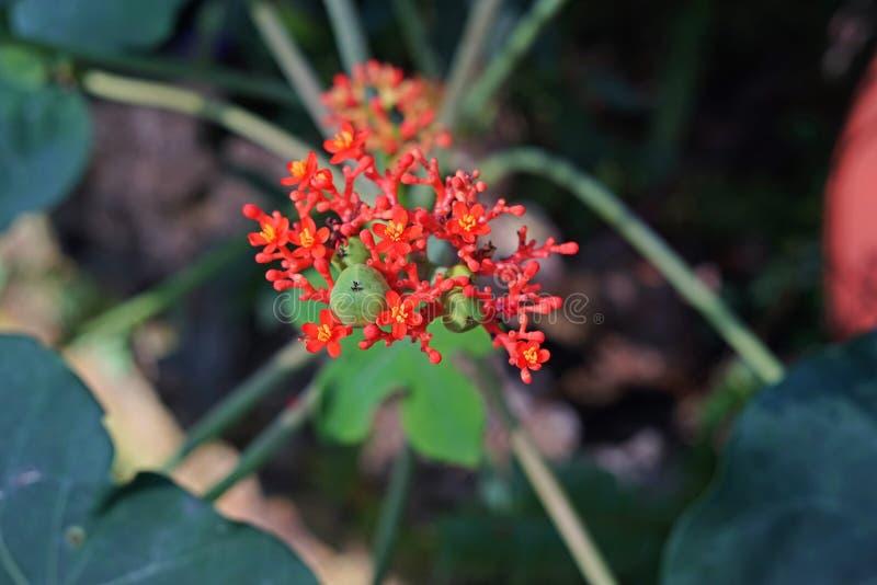 Planta del vientre de Buda o arbusto bottleplant fotografía de archivo libre de regalías
