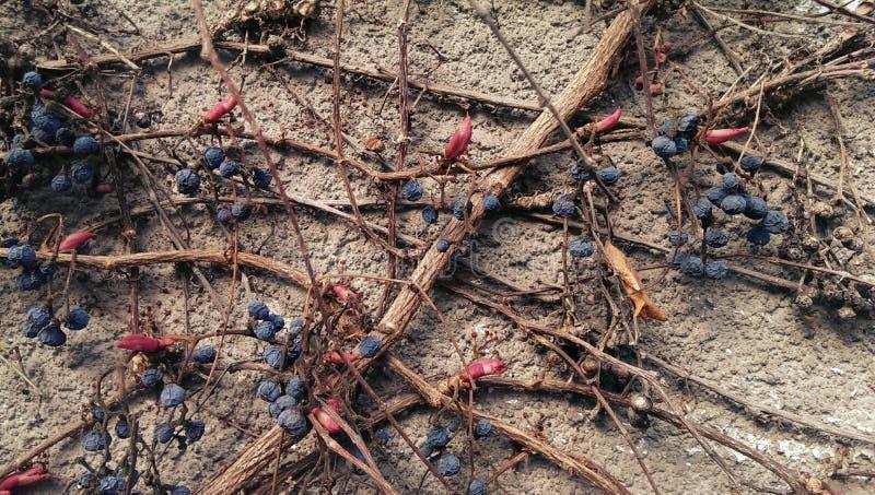 Planta del zarcillo del Parthenocissus imágenes de archivo libres de regalías