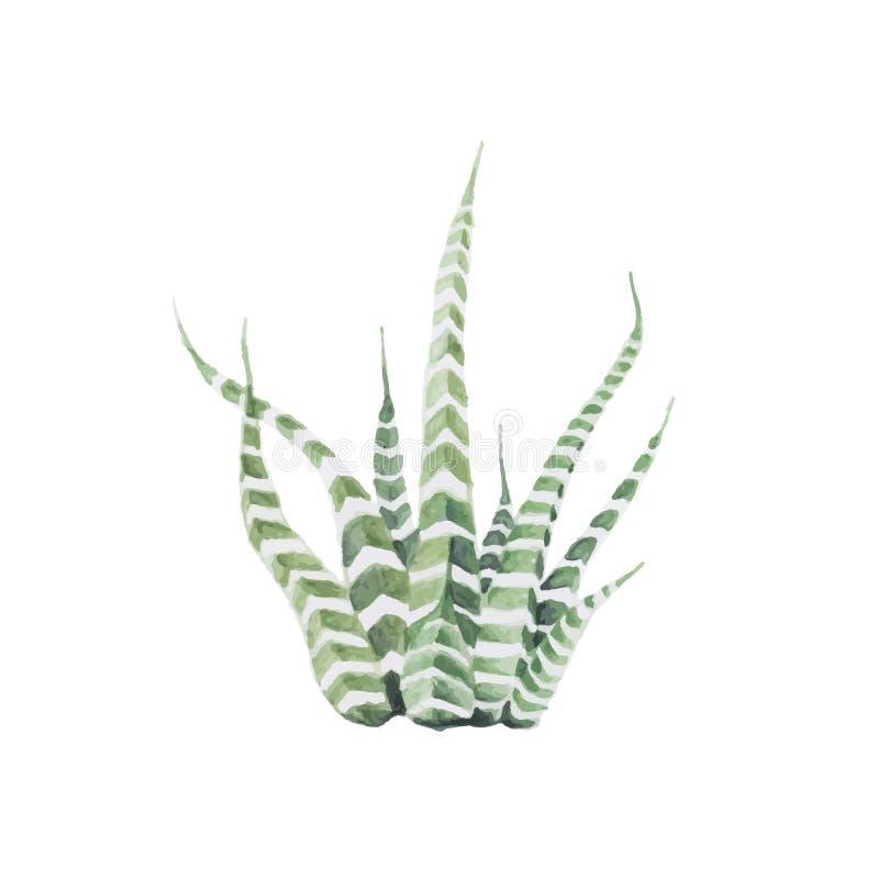 Planta dibujada mano de la cebra del attenuata del haworthia ilustración del vector