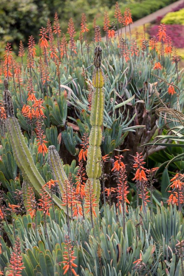 Planta do aloés na flor imagens de stock