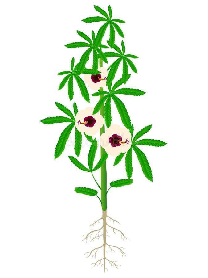 A planta do cânhamo igualmente chamou o cannabinus de Java Jute Deccan Hemp Hibiscus ilustração stock