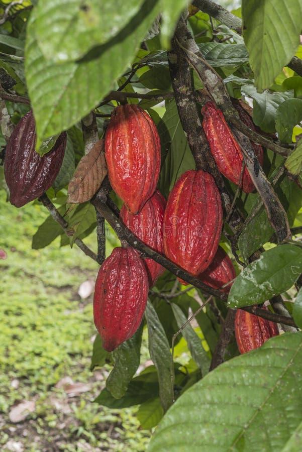 Planta do cacau com frutos imagens de stock royalty free