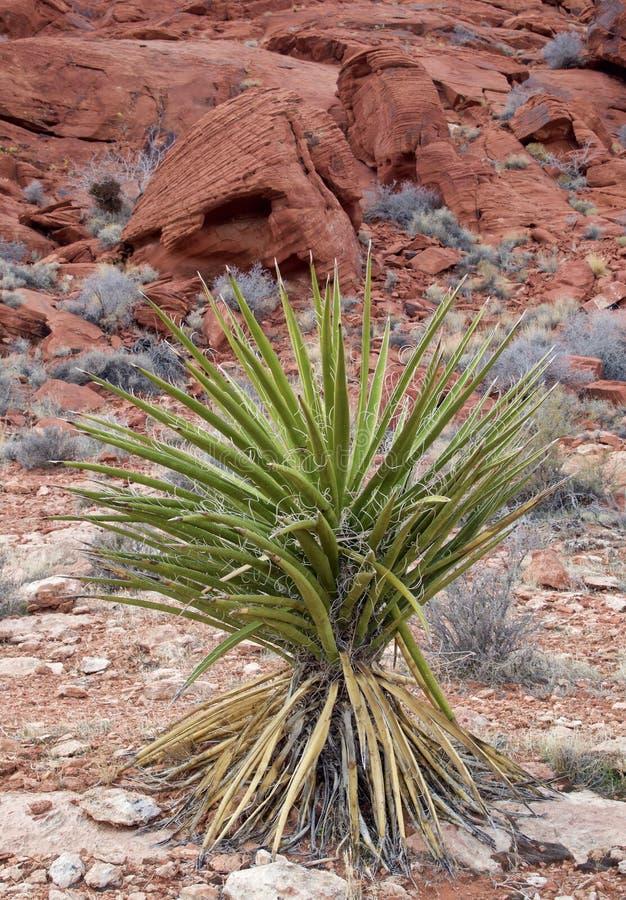 Planta do cacto, área vermelha da conservação da rocha, Nevada do sul, EUA foto de stock