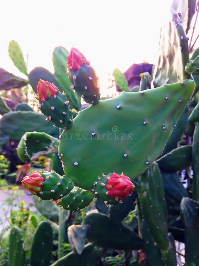 Planta do cacto com flores vermelhas fotos de stock