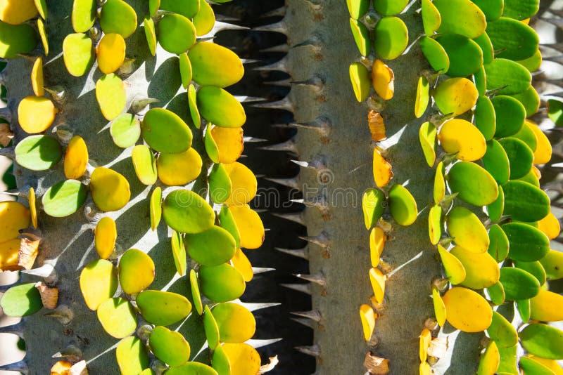 Planta do cacto com o procera verde e amarelo do alluaudia das folhas - imagem do close up foto de stock royalty free