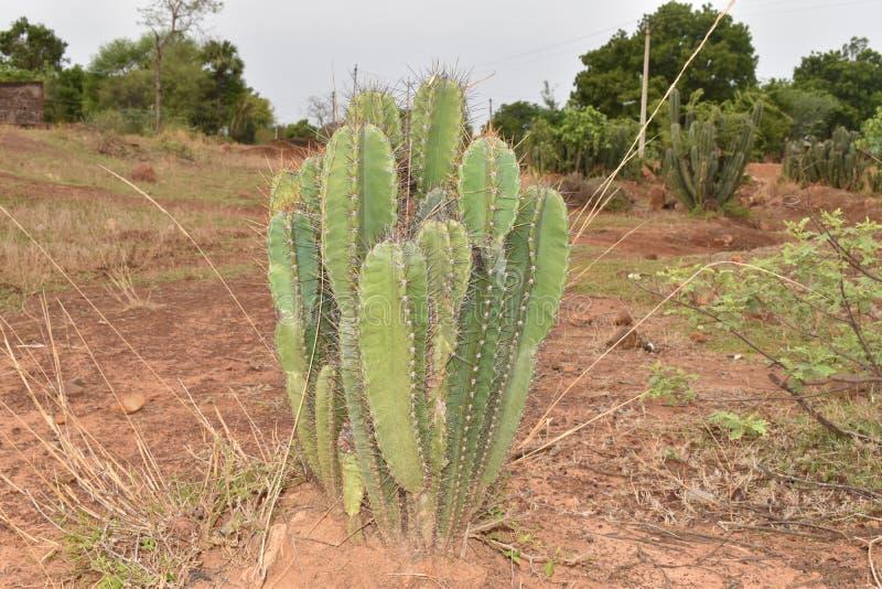 PLANTA DO CACTO COM OS ESPINHOS AFIADOS NA FLORESTA imagens de stock royalty free