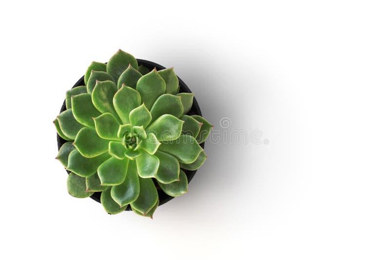 planta do cacto da vista superior no isolado do potenciômetro no fundo branco imagem de stock royalty free