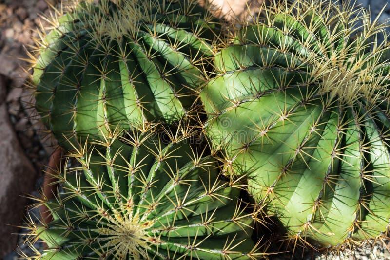 Planta do cacto do histrix do Ferocactus com sombra foto de stock royalty free