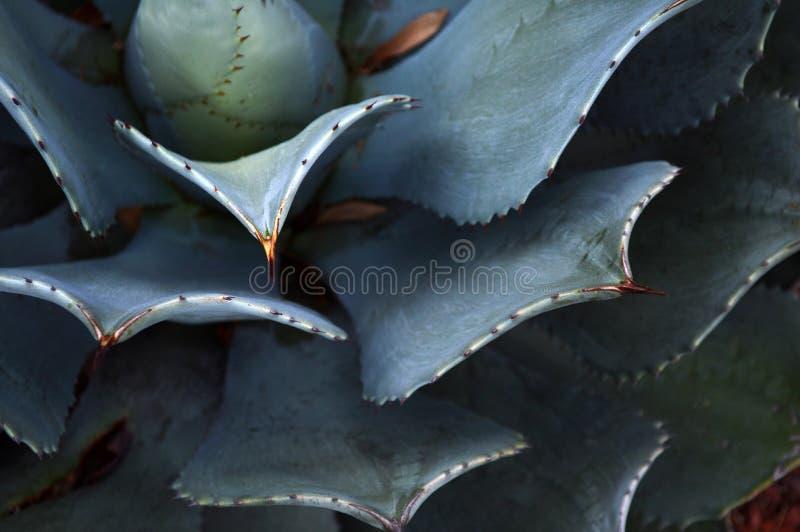 Planta do cacto no deserto de México fotografia de stock royalty free