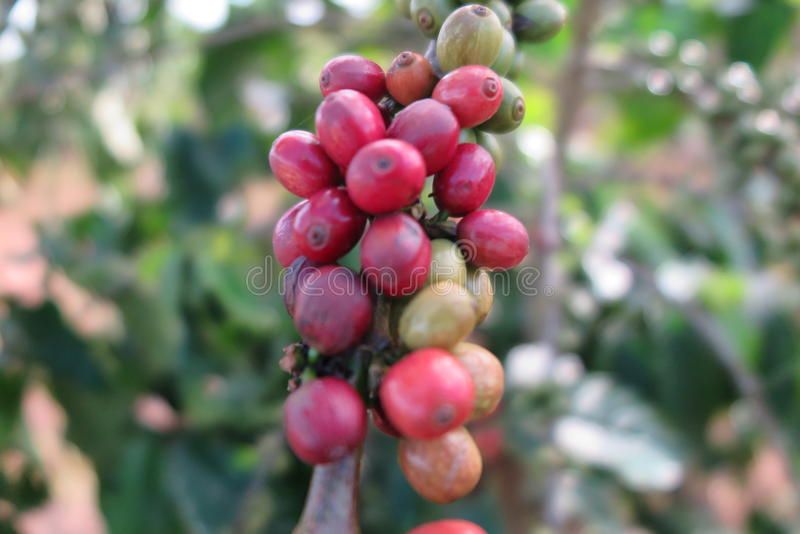 Planta do café, Vietname fotos de stock royalty free