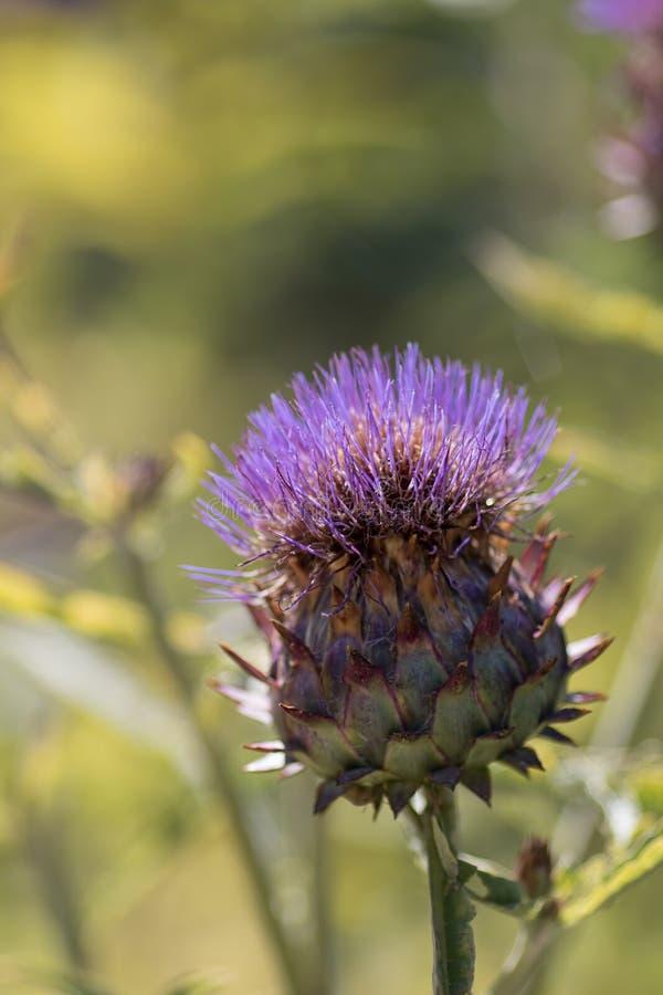 Planta do cardo ou cardo da alcachofra uma fonte de combustível do biodiesel imagem de stock royalty free