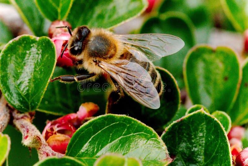 Planta do Cotoneaster de Honey Bee Gathering Nectar On A foto de stock