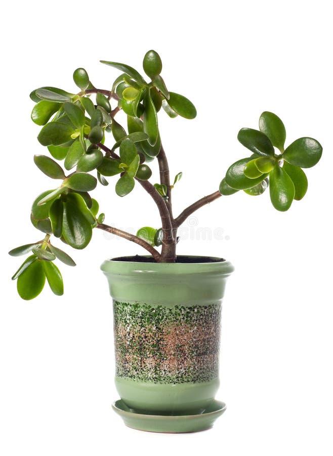 Planta do Crassula (árvore do dólar) isolada no branco. foto de stock royalty free