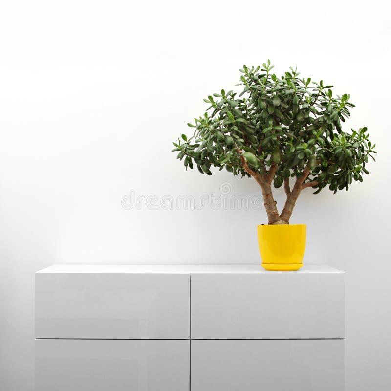 Planta do Crassula na cômoda branca foto de stock royalty free