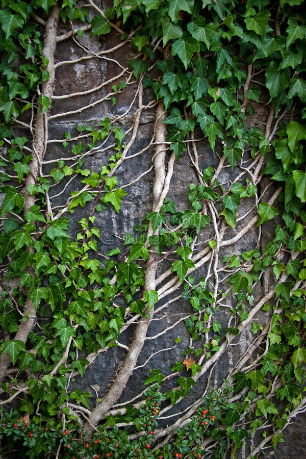 Planta do Creeper em uma parede foto de stock royalty free