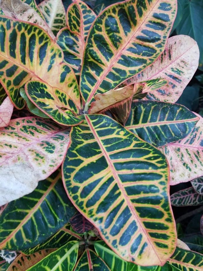 Planta do Croton imagens de stock royalty free