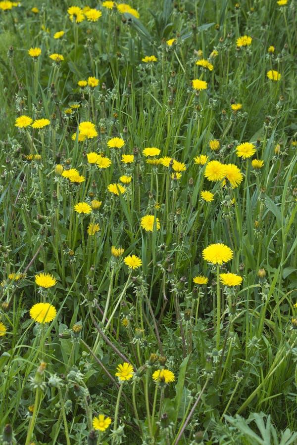 Planta do dente-de-leão com um botão amarelo macio Crescimento de flor amarelo do dente-de-leão na terra foto de stock royalty free