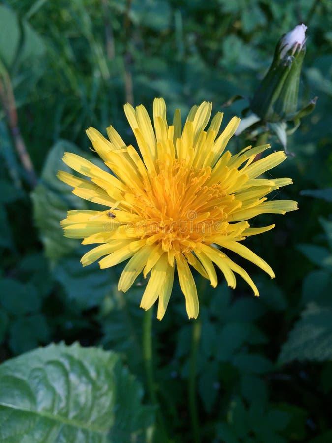 Planta do dente-de-leão na flor fotografia de stock royalty free