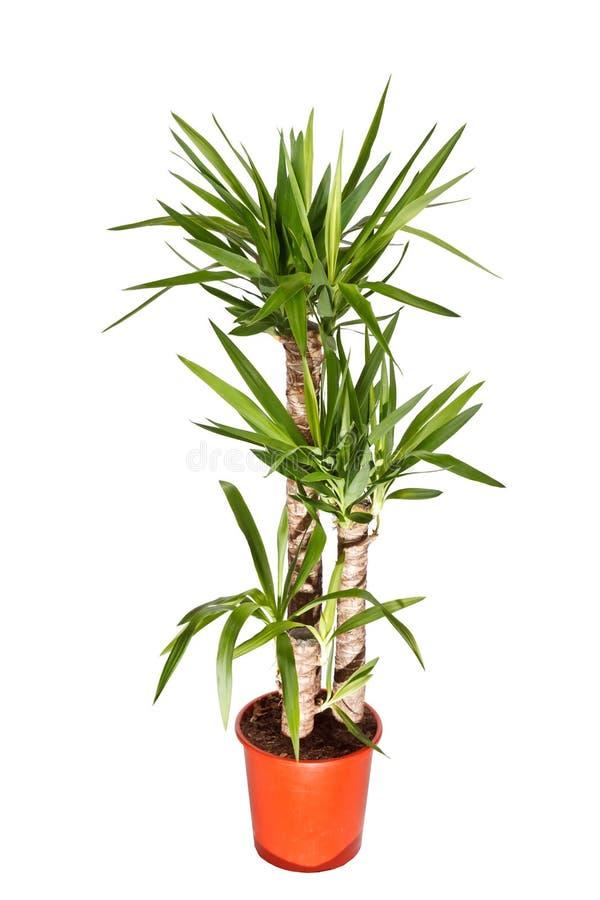 Planta do Dracaena fotografia de stock