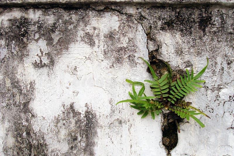 Planta do Fern na parede rachada velha foto de stock royalty free