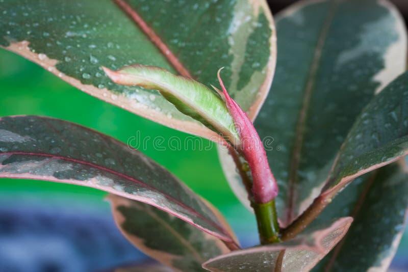 Planta do ficus Elastica Ruby Branch And Colorful Leaves com Dro fotografia de stock royalty free