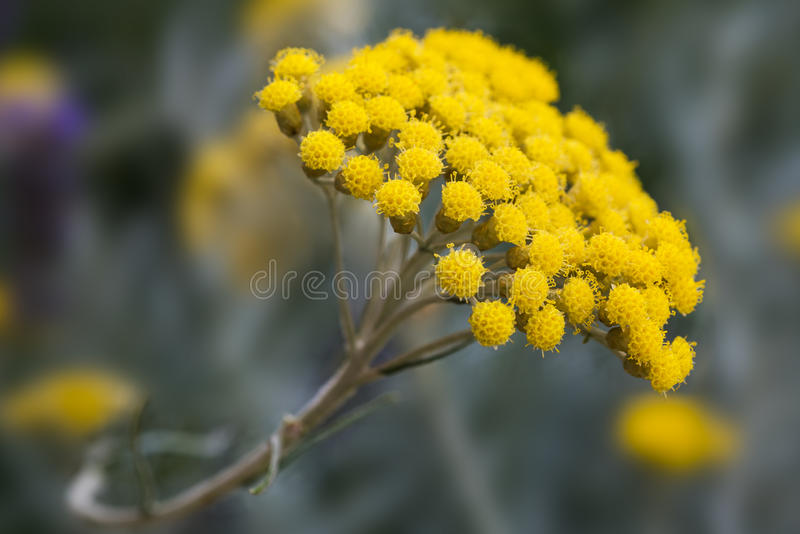 Planta do Helichrysum imagens de stock royalty free