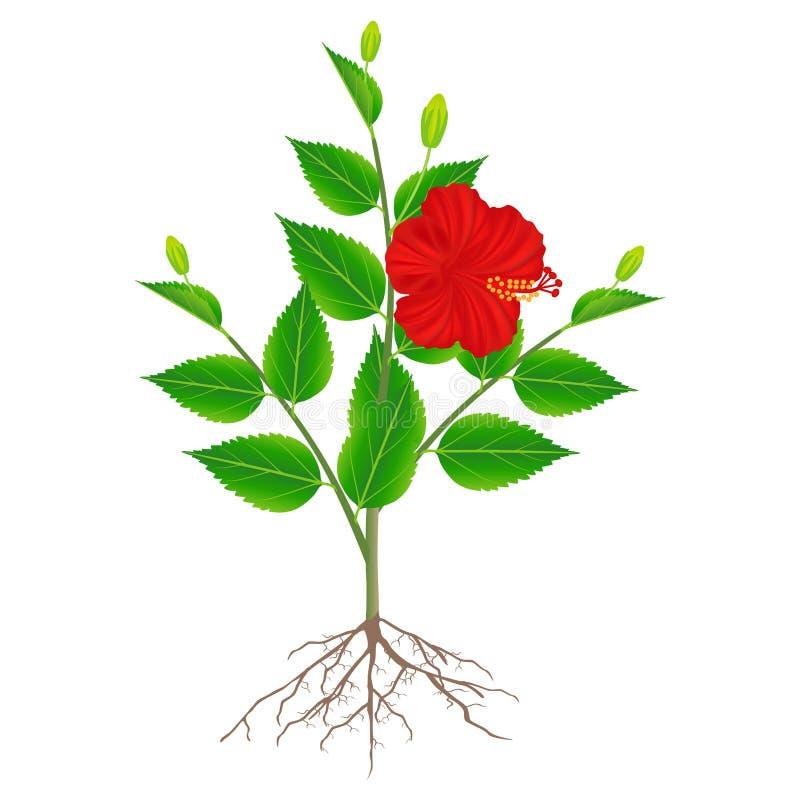 Planta do hibiscus com as raizes isoladas no fundo branco ilustração stock