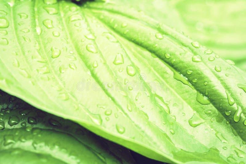 Planta do Hosta com fundo verde no dia chuvoso, plantas da textura das folhas em um jardim com pingos de chuva fotos de stock royalty free