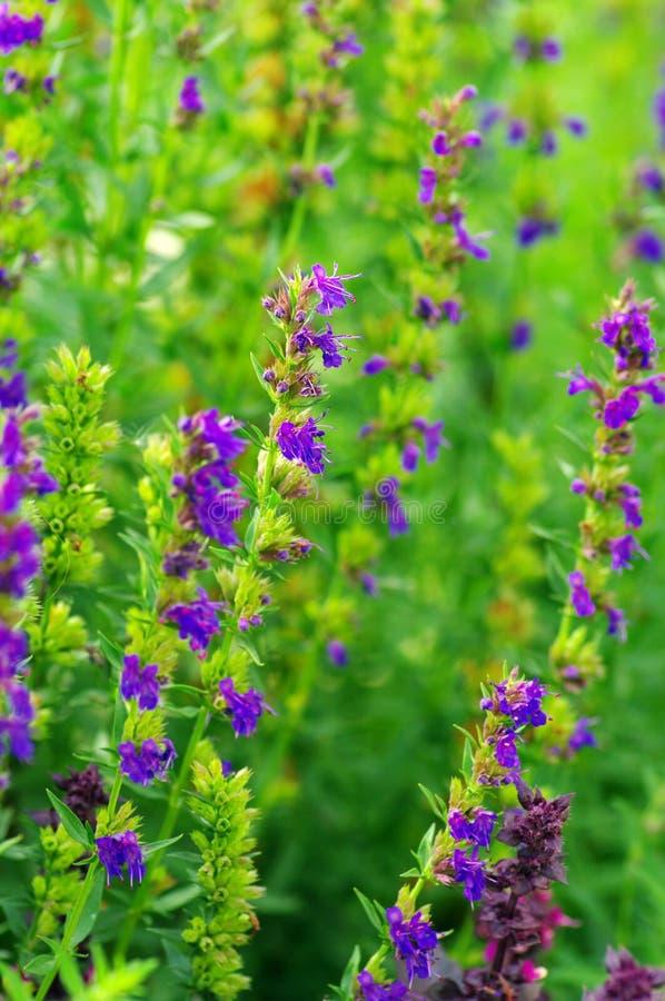 Planta do Hyssop foto de stock