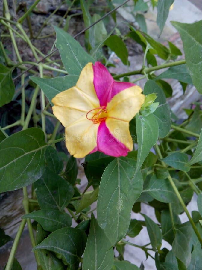 Planta do jalapa do Mirabilis com flor fotografia de stock