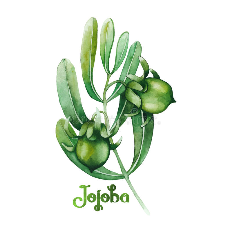 Planta do jojoba da aquarela ilustração stock