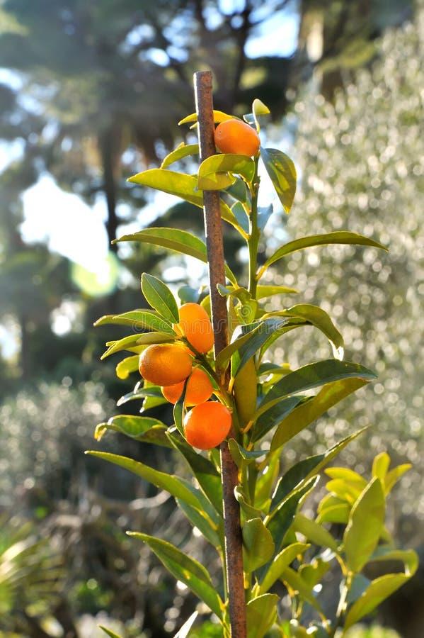 Planta do Kumquat com frutos imagem de stock