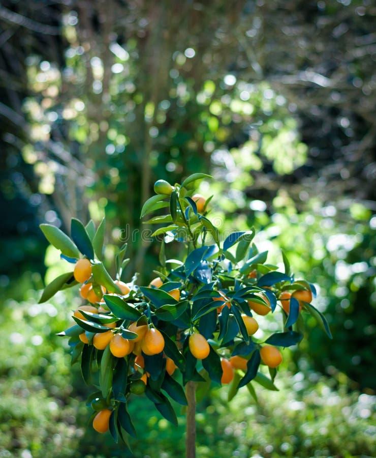 Planta do Kumquat em um jardim fotografia de stock royalty free