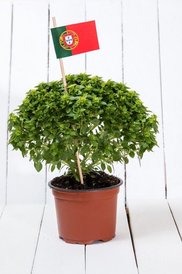 Planta do mínimo do Ocimum foto de stock