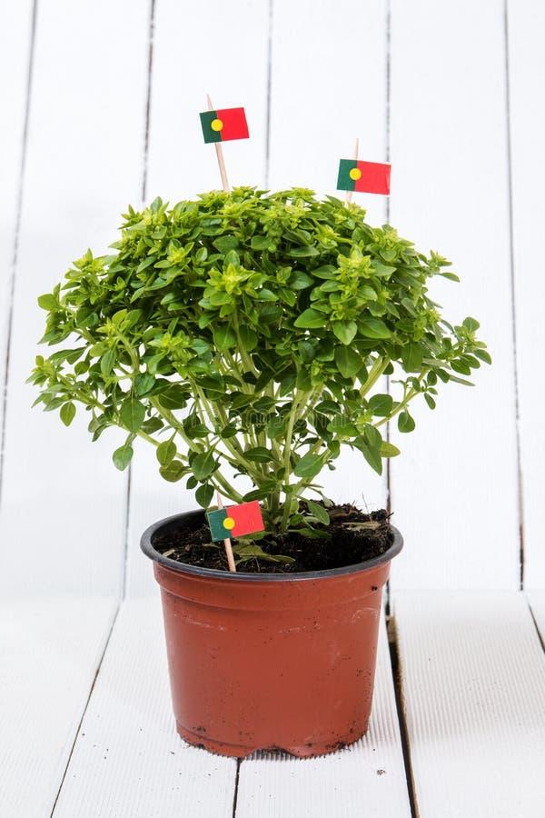 Planta do mínimo do Ocimum imagem de stock royalty free
