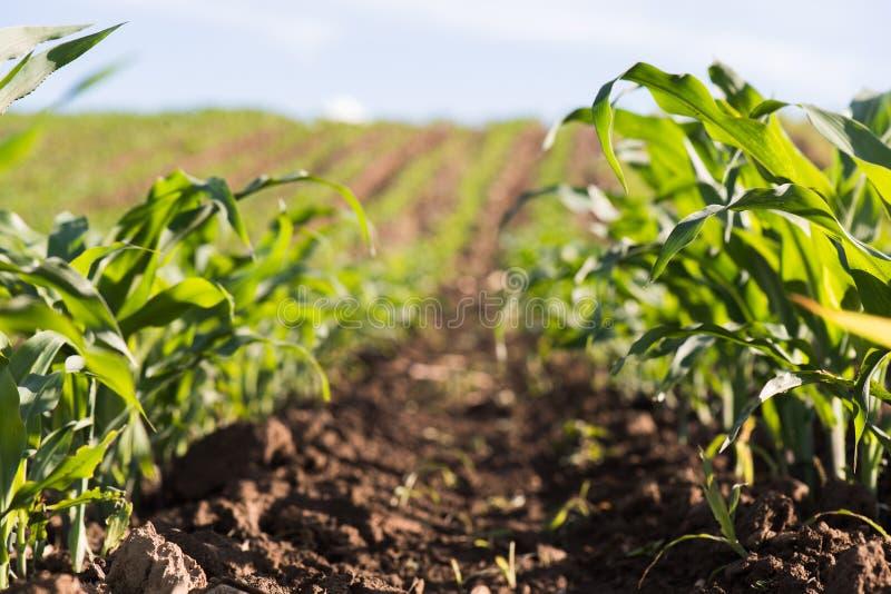 Planta do milho verde novo fotos de stock