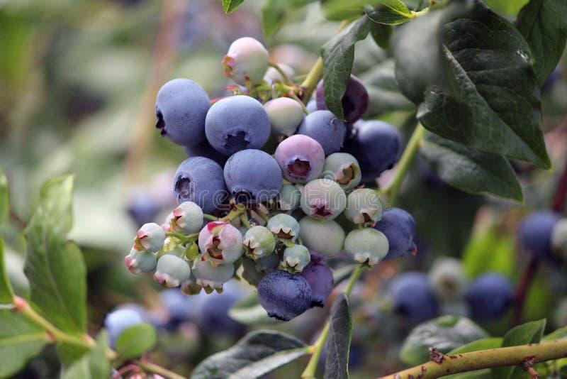 Planta do mirtilo com alguns mirtilos maduros e algum verde imóvel fotografia de stock royalty free