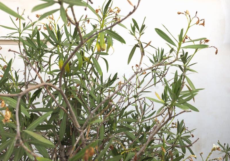 planta do oleandro sem flores imagens de stock royalty free