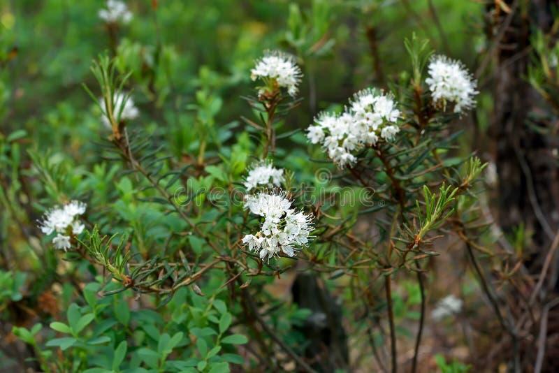 Planta do palustre do Ledum fotografia de stock