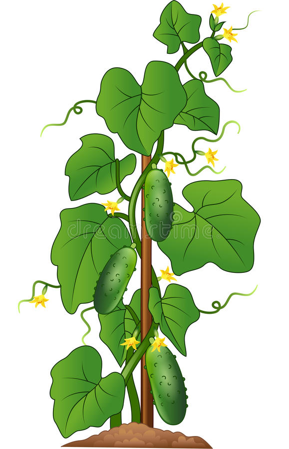 Planta do pepino isolada no fundo branco ilustração stock