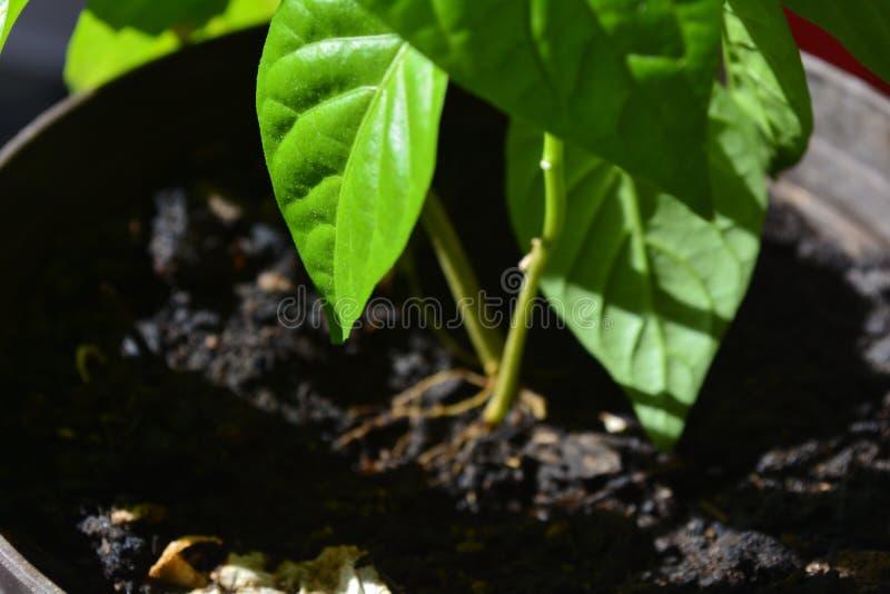Planta do pimentão com as folhas brilhantes verdes imagens de stock