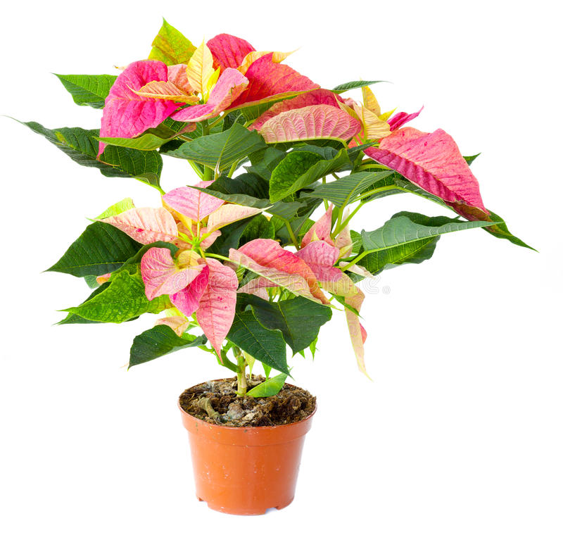 Planta do Poinsettia fotografia de stock