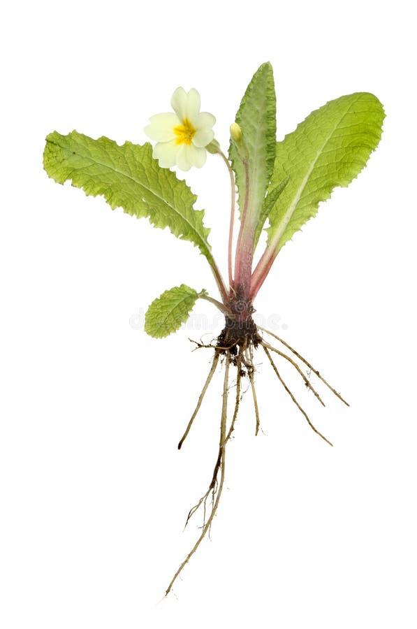 Planta do Primrose imagem de stock