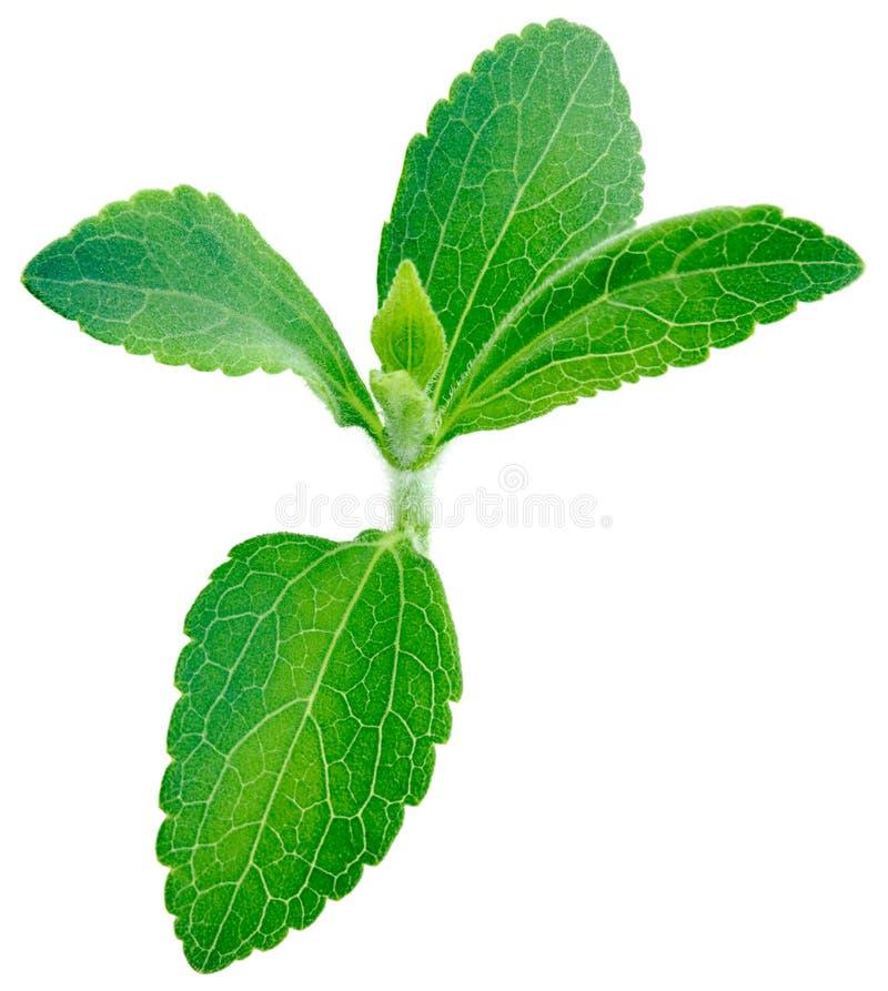 Planta do rebaudiana do Stevia fotos de stock royalty free