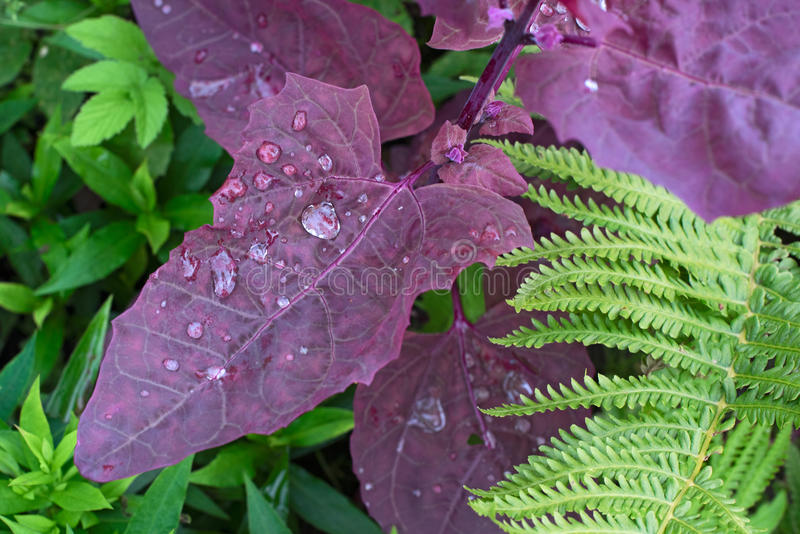 Planta do rubra do hortensis do Atriplex com gotas de água imagens de stock