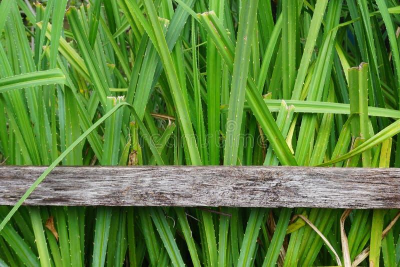 Planta do screwpine do litoral fotografia de stock