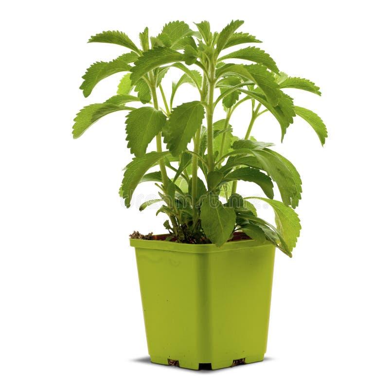 Planta do Stevia em um bucklet imagem de stock